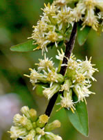 picture of Solidago bicolor, image of Solidago bicolor, photograph of Solidago bicolor