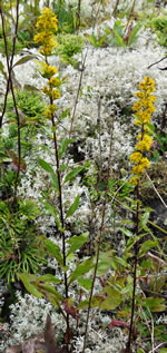 picture of Solidago roanensis, image of Solidago roanensis, photograph of Solidago roanensis