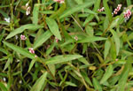 picture of Persicaria hydropiperoides, image of Polygonum hydropiperoides, photograph of Polygonum hydropiperoides var. hydropiperoides