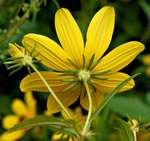 picture of Bidens polylepis, image of Bidens aristosa, photograph of Bidens polylepis