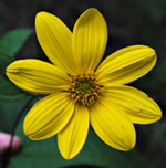 picture of Helianthus decapetalus, image of Helianthus decapetalus, photograph of Helianthus decapetalus