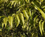 picture of Celtis smallii, image of Celtis laevigata, photograph of Celtis laevigata