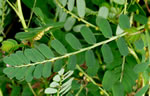 picture of Phyllanthus urinaria ssp. urinaria, image of Phyllanthus urinaria, photograph of -