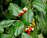 picture of Euonymus fortunei, image of Euonymus fortunei var. radicans, photograph of -