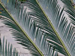 picture of Cycas revoluta, image of Cycas revoluta, photograph of -