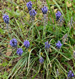 picture of Muscari neglectum, image of Muscari neglectum, photograph of Muscari racemosum