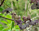 picture of Akebia quinata, image of Akebia quinata, photograph of Akebia quinata