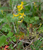 picture of Corydalis flavula, image of Corydalis flavula, photograph of Corydalis flavula