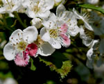 picture of Crataegus harbisonii, image of Crataegus harbisonii, photograph of -