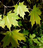 picture of Acer saccharum, image of Acer saccharum var. saccharum, photograph of Acer saccharum ssp. saccharum
