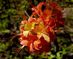 picture of Rhododendron calendulaceum, image of Rhododendron calendulaceum, photograph of Rhododendron calendulaceum