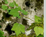 picture of Ribes cynosbati, image of Ribes cynosbati, photograph of Ribes cynosbati