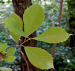 picture of Nyssa sylvatica, image of Nyssa sylvatica, photograph of Nyssa sylvatica var. sylvatica