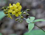 picture of Lysimachia fraseri, image of Lysimachia fraseri, photograph of Lysimachia fraseri