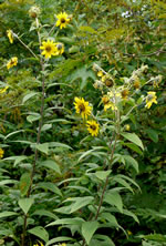 picture of Helianthus resinosus, image of Helianthus resinosus, photograph of Helianthus tomentosus