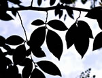 picture of Stewartia malacodendron, image of Stewartia malacodendron, photograph of Stewartia malacodendron