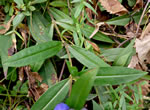 picture of Gentiana saponaria, image of Gentiana saponaria, photograph of Gentiana saponaria