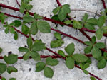 picture of Rubus flagellaris, image of Rubus flagellaris, photograph of Rubus flagellaris
