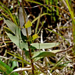 picture of Gymnopogon ambiguus, image of Gymnopogon ambiguus, photograph of Gymnopogon ambiguus