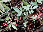 picture of Rosa multiflora, image of Rosa multiflora, photograph of Rosa multiflora