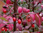 picture of Euonymus alatus, image of Euonymus alatus, photograph of -