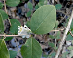 picture of Lonicera fragrantissima, image of Lonicera fragrantissima, photograph of Lonicera fragrantissima