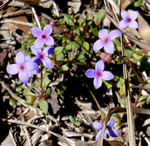 picture of Houstonia pusilla, image of Houstonia pusilla, photograph of Houstonia pusilla