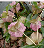 picture of -, image of Helleborus orientalis, photograph of -