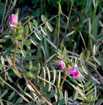 picture of Vicia sativa ssp. nigra, image of Vicia sativa ssp. nigra, photograph of Vicia angustifolia