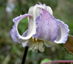 picture of Clematis crispa, image of Clematis crispa, photograph of Clematis crispa