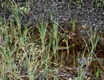picture of Carex striata var. striata, image of Carex striata var. striata, photograph of Carex walteriana