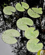 picture of Nymphaea odorata ssp. odorata, image of Nymphaea odorata ssp. odorata, photograph of Nymphaea odorata