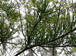 picture of Taxodium ascendens, image of Taxodium ascendens, photograph of Taxodium ascendens