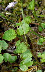 picture of Viola labradorica, image of Viola labradorica, photograph of Viola conspersa