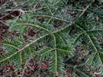 picture of Abies fraseri, image of Abies fraseri, photograph of Abies fraseri