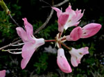 picture of Rhododendron vaseyi, image of Rhododendron vaseyi, photograph of Rhododendron vaseyi