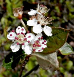 picture of Aronia arbutifolia, image of Photinia pyrifolia, photograph of Sorbus arbutifolia var. arbutifolia