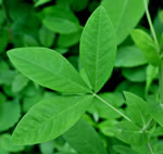 picture of Thermopsis villosa, image of Thermopsis villosa, photograph of Thermopsis villosa