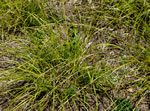 picture of Carex cherokeensis, image of Carex cherokeensis, photograph of Carex cherokeensis