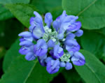 picture of Scutellaria ovata ssp. rugosa var. 1, image of Scutellaria arguta, photograph of -