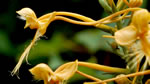 picture of Platanthera ciliaris, image of Platanthera ciliaris, photograph of Habenaria ciliaris