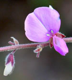 picture of Desmodium viridiflorum, image of Desmodium viridiflorum, photograph of Desmodium viridiflorum