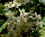 picture of Clematis virginiana, image of Clematis virginiana, photograph of Clematis virginiana