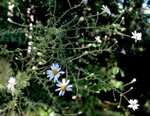 picture of Symphyotrichum dumosum +, image of Symphyotrichum dumosum +, photograph of Aster dumosus