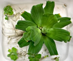 picture of Pistia stratiotes, image of Pistia stratiotes, photograph of -