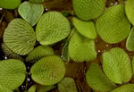 picture of Salvinia minima, image of Salvinia minima, photograph of -
