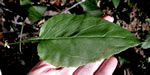 picture of Nabalus altissimus, image of Prenanthes altissima, photograph of Prenanthes altissima