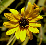 picture of Helianthus angustifolius, image of Helianthus angustifolius, photograph of Helianthus angustifolius