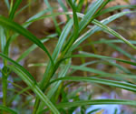 picture of Scirpus polyphyllus, image of Scirpus polyphyllus, photograph of Scirpus polyphyllus