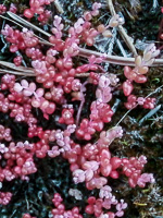 picture of Diamorpha smallii, image of Diamorpha smallii, photograph of Sedum smallii